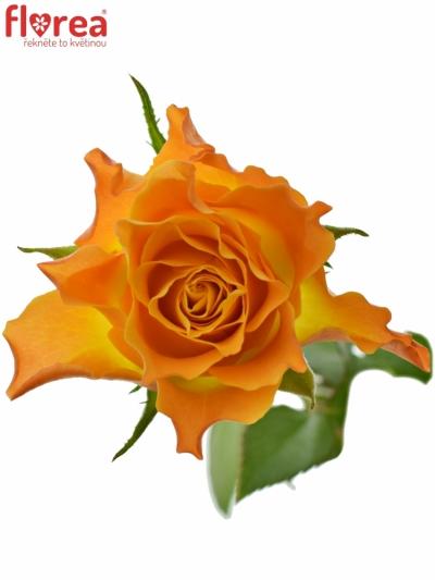 ROSA MARIE-CLAIRE! 40cm (S)