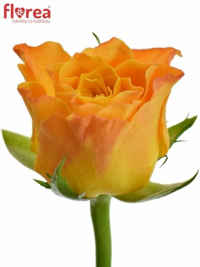 ROSA MARIE-CLAIRE! 50cm (S)