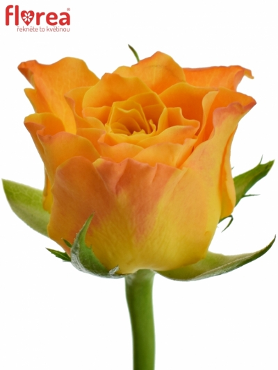 Oranžová růže MARIE-CLAIRE! 70cm (XL)