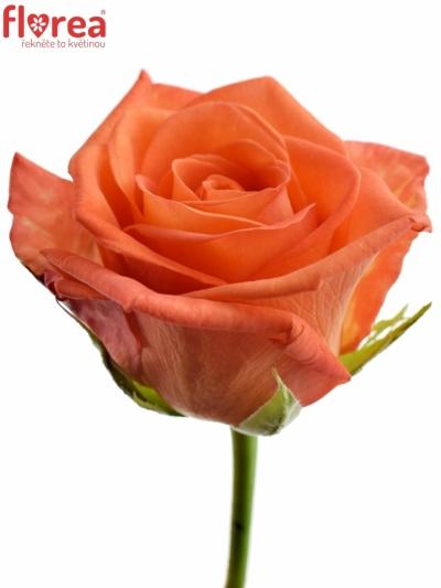 Oranžová růže NARANGA