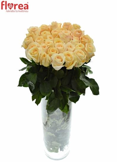 Oranžová růže PINK CHAMPAIGN 80cm (XL)