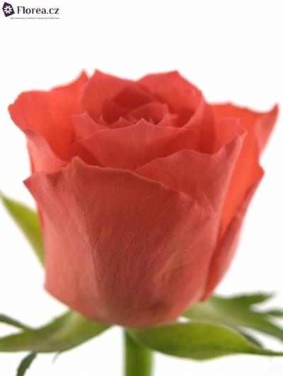 ROSA PUNCH 60cm (S)