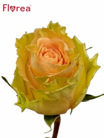Oranžová růže RAINBOW PEACH@
