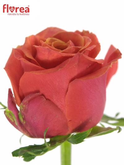 Oranžová růže ROXY 70cm (XL)