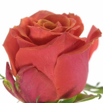 Oranžová růže ROXY