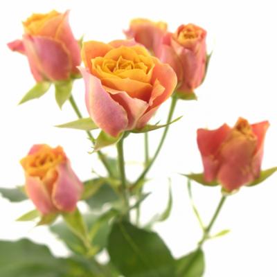Oranžová růže SONORA 70cm/7+
