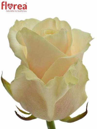 Oranžová růže TALEA 50cm