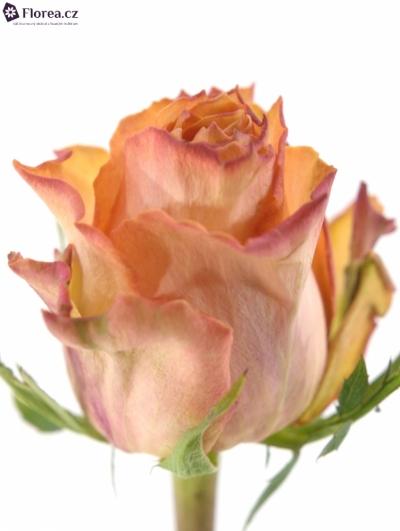 Oranžová růže TWILIGHT 35cm