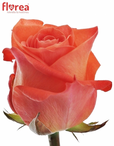 Oranžová růže WOW! 55cm (L)
