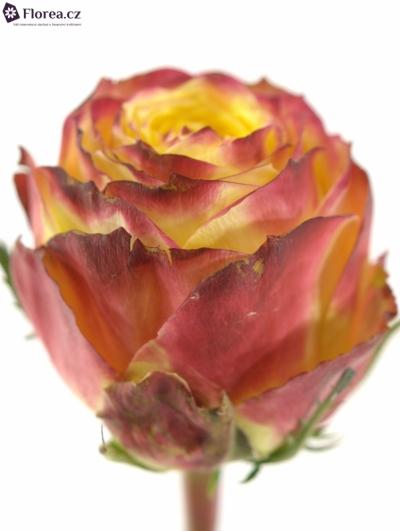 Oranžovočervená růže ACAPULCO