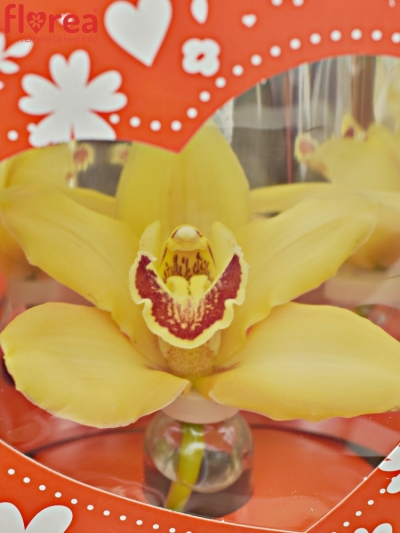 CYMBIDIUM VALENTÝN BOX MIX