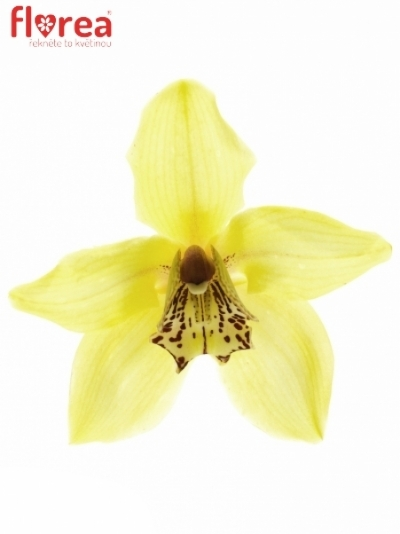 Orchidej CANYON 50cm