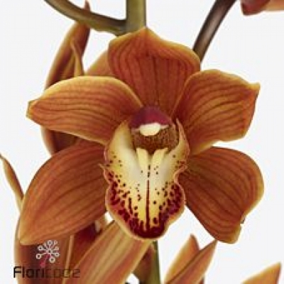 Orchidej MINI BROWN EYED GIRL