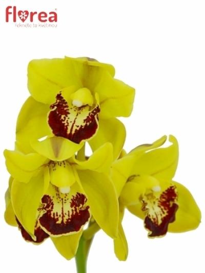Orchidej MINI GREEN 30cm