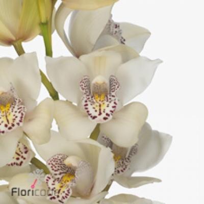 Orchidej MINI IRIS