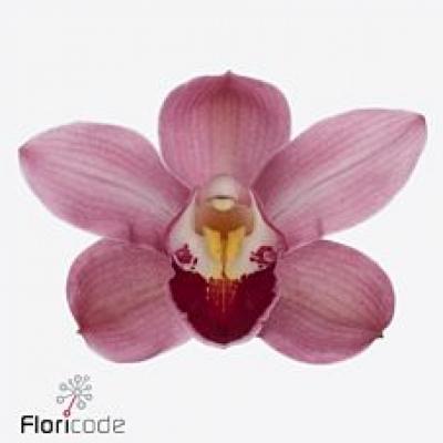Orchidej MINI PINK FALL