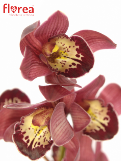 Orchidej MINI RED BEAUTY X ROY 40cm