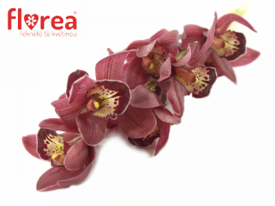 CYMBIDIUM MINI RED BEAUTY X ROY 40cm