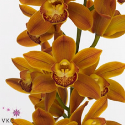 Orchidej MINI SAKURA