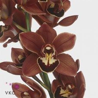 Orchidej MINI TANGERINE MARY BROWNIE