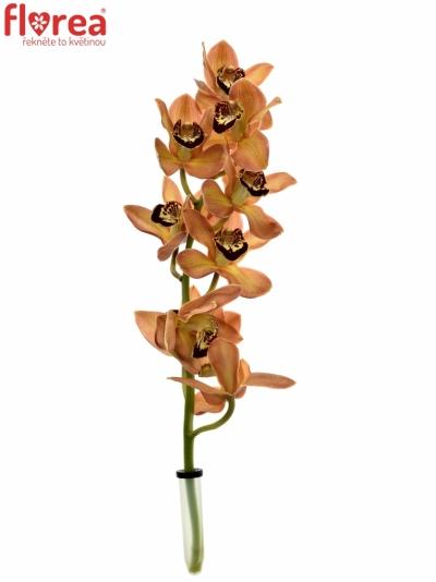 Orchidej MRS. GRIZZLY BEAR 40cm