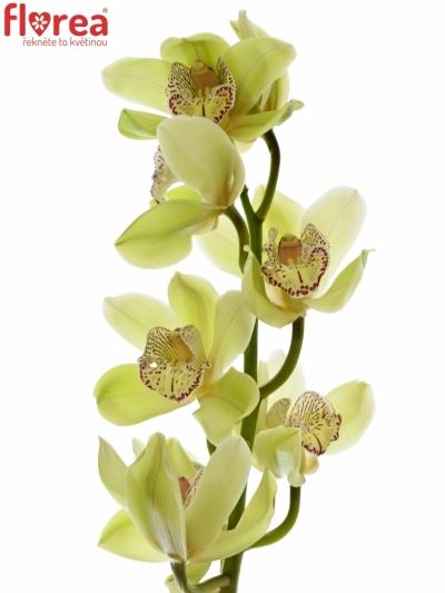 Orchidej T ALI ANDERSON 50cm