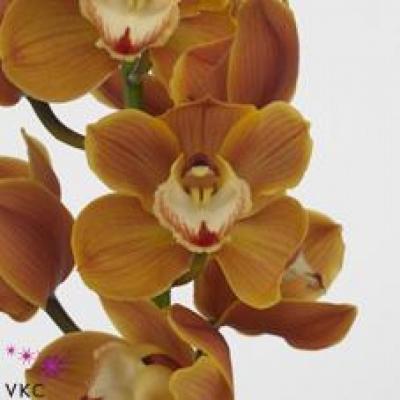 Orchidej T AMALIA
