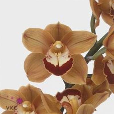 Orchidej T BALOU