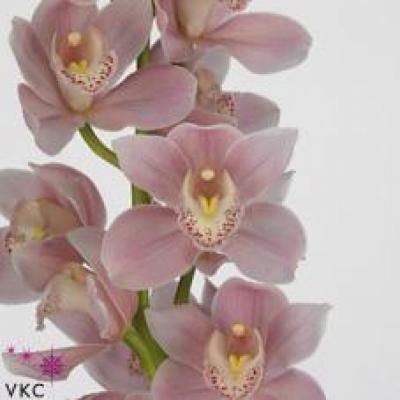 Orchidej T BARTOLME FERRELLO HYZENTHLY