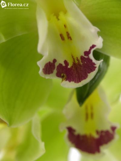 Orchidej T BREMO