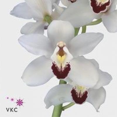Orchidej T DANNY GREEN