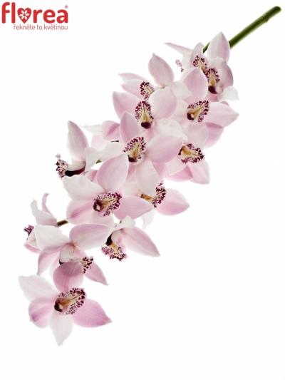 Orchidej T DELMONTE 40cm