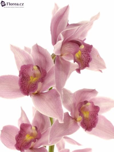 Orchidej T ELLIOT ROGERS C290 80cm