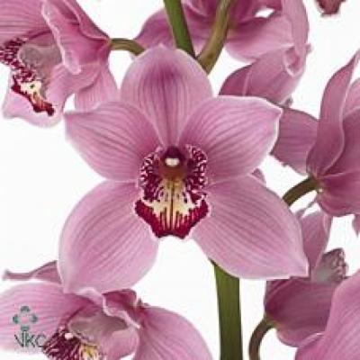 Orchidej T FIREGLOW