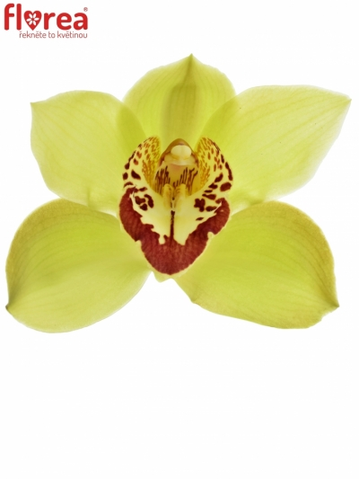 Orchidej T GREEN GIANT 80cm