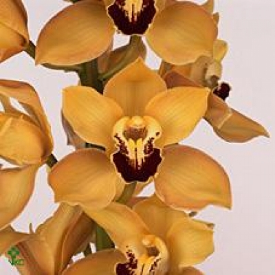 Orchidej T GYMER COOKSBRIDGE