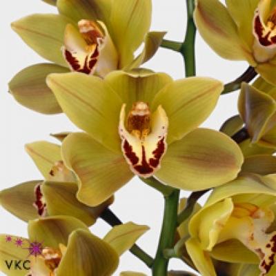 Orchidej T INDIAN BAZAR