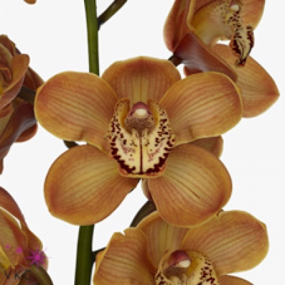 Orchidej T LA VIE ROBINA