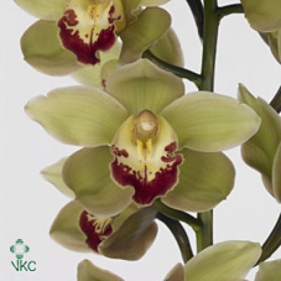 Orchidej T MACHTELD