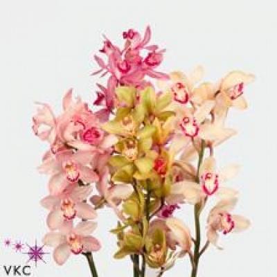 Orchidej T MIX