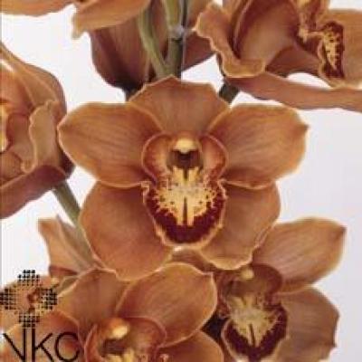 Orchidej T MRS BRITNEY