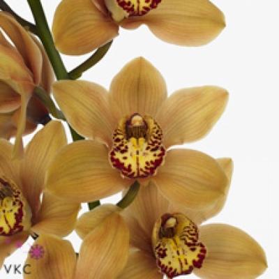 Orchidej T MRS. OPRAH