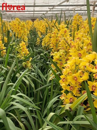 Orchidej T NEVADA 60cm