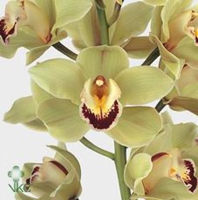 Orchidej T PIEDMONT