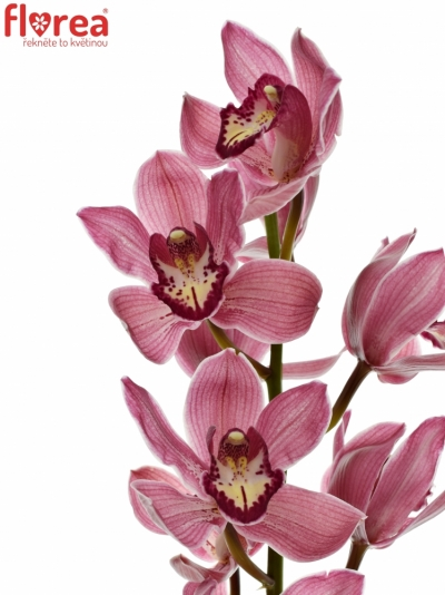CYMBIDIUM T POWER 80cm