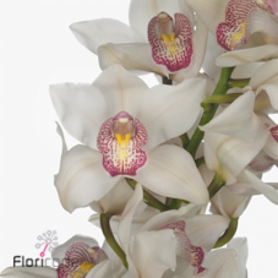 Orchidej T TIME OUT