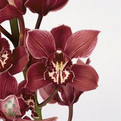Orchidej T TINEKE