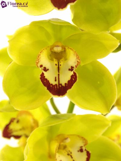 Orchidej T YONINA