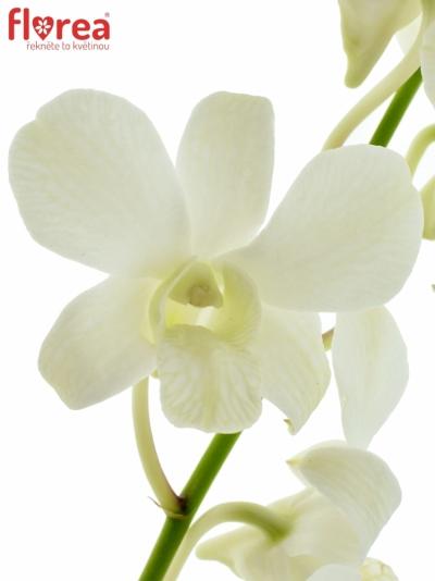Orchidej WHITE 40cm