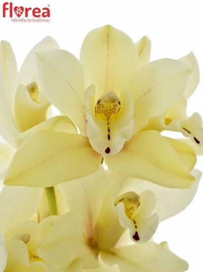 Orchidej YELLOW RIVER TARA 30cm